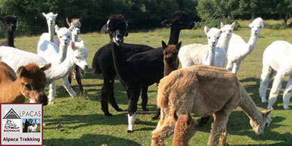 Bearhouse Alpacas, Sidbury