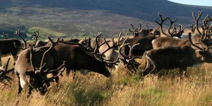Carngorm Reindeer Glenmore Aviemore