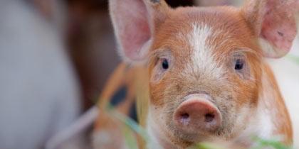 Pink Pig Farm Scunthorpe