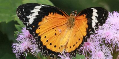 Wye Butterflys
