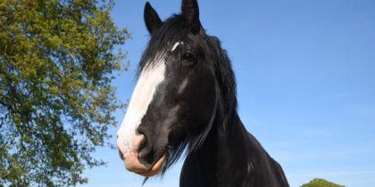 Cotebrook Shire Horse Centre, Tarporley